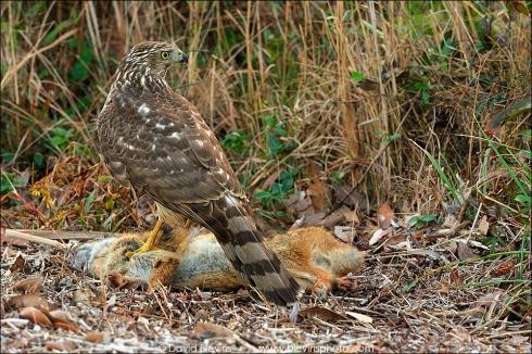 Cooper's Hawk feeding on Marsh Rabbit