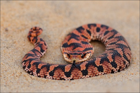 Young Eastern Hognose Snake