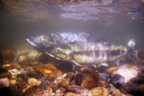 Spawning Chum Salmon